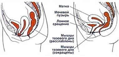 Сильные мышцы тазового дна