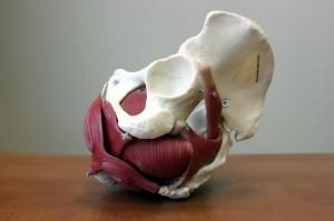 Модель мышц тазового дна
