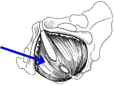 Интимные мышцы