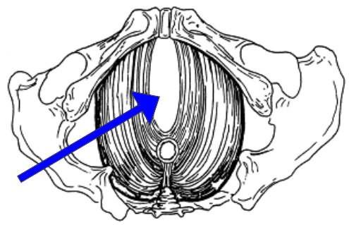 Мочеполовой синус